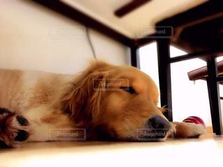 犬,ゴールデンレトリバー