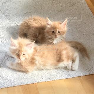 カーペットの上で寝転んでいるメインクーンの子猫2匹の写真・画像素材[973756]
