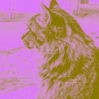 カメラを見ている猫の写真・画像素材[1255112]