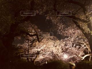 桜,夜桜,さくら