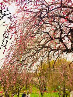 花,屋外,梅,青空,癒し,万博記念公園,草木