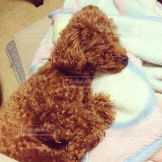 犬,動物,ペット,寝顔,わんこ,可愛い,雰囲気