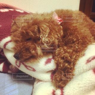 犬,動物,ペット,寝顔,わんこ,顔,可愛い,雰囲気