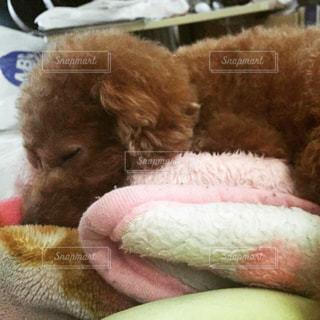 犬,動物,ペット,寝顔,わんこ,顔,可愛い,雰囲気,素敵