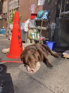地面に横たわっている大きな茶色の犬の写真・画像素材[973536]
