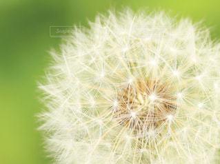 タンポポの綿毛の写真・画像素材[871840]