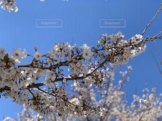 空,花,桜,木,枝,花見,お花見,イベント,桜の花,さくら,ブロッサム