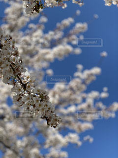 空,花,桜,屋外,青空,晴天,花見,ブロッサム