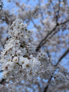 花,春,桜,木,青空,花見,樹木,お花見,イベント,桜の花,さくら,ブロッサム