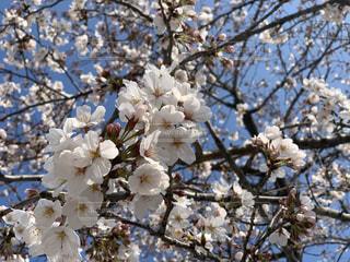 花,春,桜,木,青空,花見,お花見,イベント,桜の花,さくら,ブロッサム