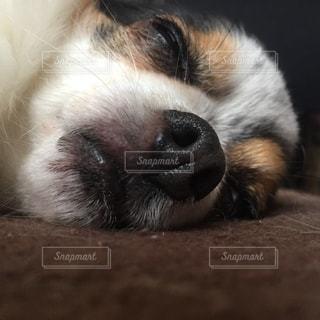 犬,チワワ