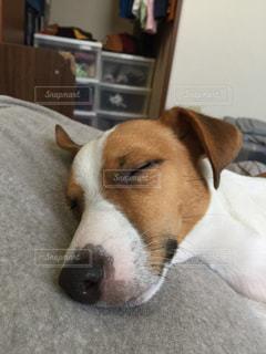 犬,寝顔,ジャックラッセルテリア