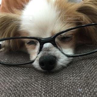 犬、パピヨン