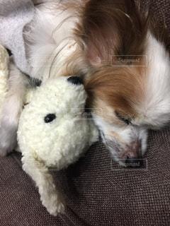 犬,パピヨン