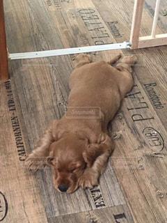 犬、寝顔、イングリッシュスパニエルコッカー