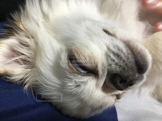 寝顔,子犬,白目,ペキチワ