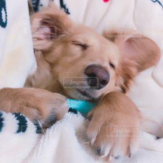 犬,寝顔,ミニチュアダックスフンド