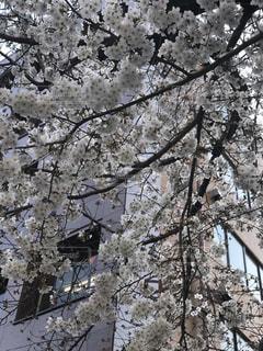 桜,さくら,春到来,桜がキレイ