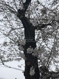 春,桜,近所,さくら,キレイ