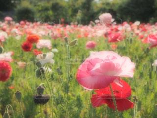 花の写真・画像素材[497829]