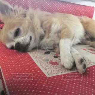 犬,チワワ,寝顔,ロングコートチワワ,座布団,半目