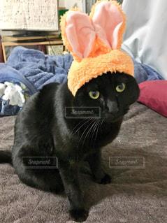 うさ耳をつけた黒猫の写真・画像素材[1257240]