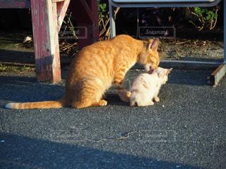 家族,猫,動物,屋外,親子,オレンジ,仲良し,ペット,子猫,人物,可愛い,野良猫,茶トラ,毛づくろい,豊島,ネコ