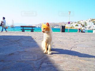 ミコノス島のネコちゃんの写真・画像素材[741276]