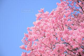 公園,春,桜,お花見,さくら,nikonD5500