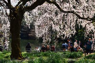 しだれ桜🌸の写真・画像素材[1832826]