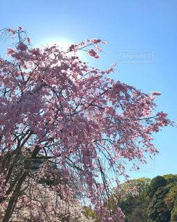 ピンクの花の木 - No.1105998