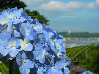 紫陽花と海の写真・画像素材[1123339]