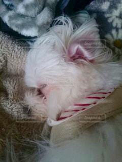 犬,寝顔,mix犬,マルポメ