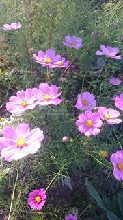自然,花,秋,コスモス