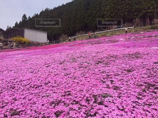 紫色の花のフィールドのグループ - No.1019907