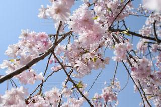 木の枝にピンク色の花のグループの写真・画像素材[1121115]