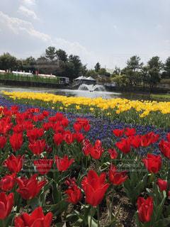 フィールドに赤い花の写真・画像素材[1124839]