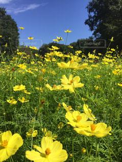 フィールド内の黄色の花の写真・画像素材[1477692]