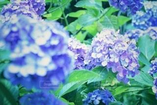 紫陽花の写真・画像素材[3385871]