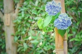 紫陽花の写真・画像素材[3385947]