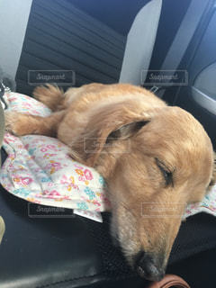 犬,昼寝,寝顔,幸せ,ミニチュワダックス