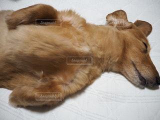 犬,ペット,寝顔,いぬ,幸せ,ダックス,愛犬,首長,ミニチュワダックス,ミニチュワダックスフンド,鳩胸