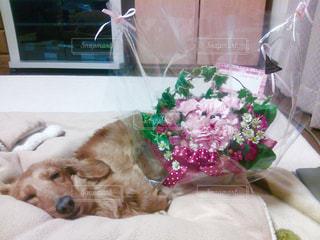 犬,花,プレゼント,寝顔,ダックス,ハッピー,ミニチュワダックス