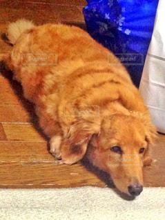 床の上に横たわる大きな茶色の犬の写真・画像素材[874303]