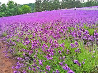 大きな紫色の花は、庭 - No.882894