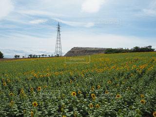 フィールド内の黄色の花の写真・画像素材[1122256]