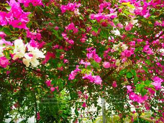 植物にピンクの花の写真・画像素材[1122277]
