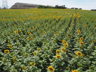 フィールド内の黄色の花の写真・画像素材[1122280]