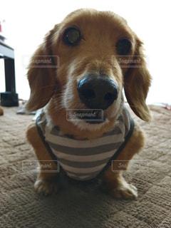 茶色と白犬の敷物の上に座っての写真・画像素材[1186203]