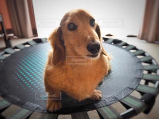 テーブルの上に座っている犬の写真・画像素材[1194851]